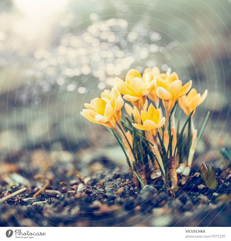 Spring nature with yellow crocuses Lifestyle Design Garden Nature Landscape Plant Beautiful weather Flower Leaf Blossom Park Blossoming Soft Yellow