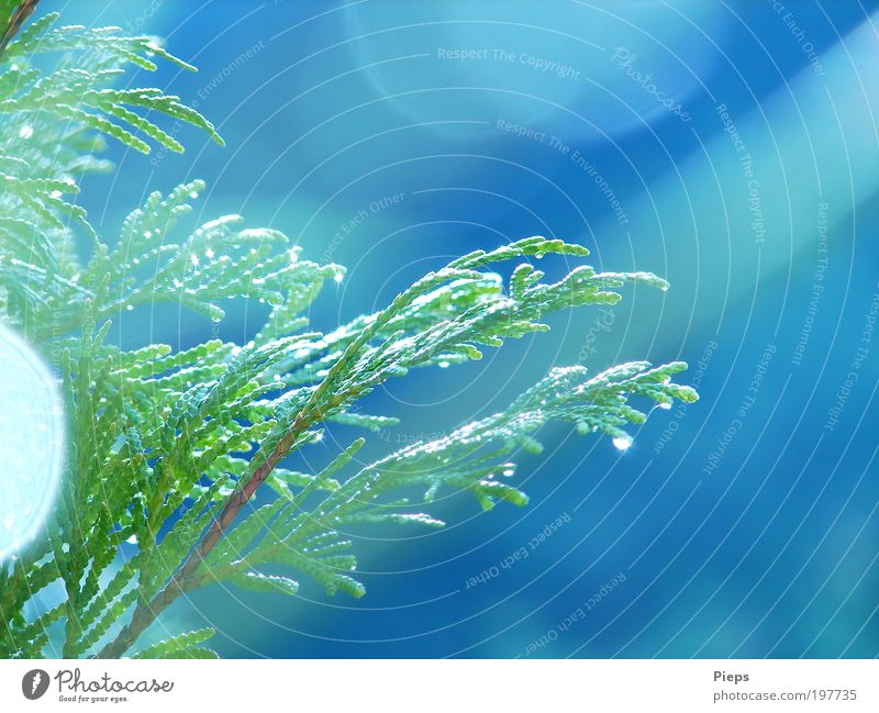 After the rain Nature Plant Summer Bushes Foliage plant Conifer Glittering Growth Green Twigs and branches Drops of water Rain Colour photo Exterior shot
