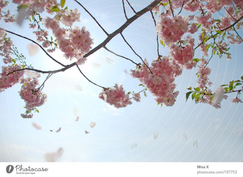 Nature Beautiful Sky Tree Blossom Spring Park Beautiful weather Cherry blossom Multicoloured Plant