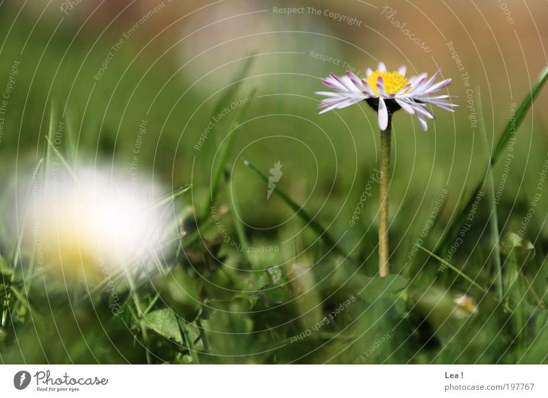 Nature Beautiful Flower Calm Grass Spring Idyll Blossoming Daisy Environment