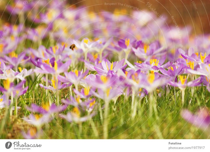 spring splendour Environment Nature Landscape Plant Animal Spring Flower Grass Blossom Garden Meadow Bee 1 Bright Near Natural Warmth Green Violet