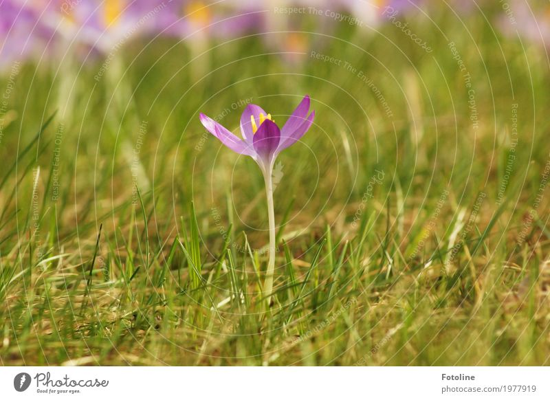 loner Environment Nature Plant Spring Beautiful weather Flower Grass Blossom Garden Park Meadow Bright Near Natural Warmth Green Violet Crocus
