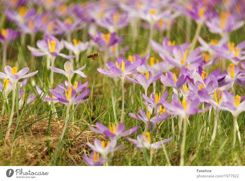 Summ Summ Summ Environment Nature Plant Spring Beautiful weather Flower Blossom Garden Park Meadow Animal Bee 1 Bright Natural Yellow Green Violet Crocus