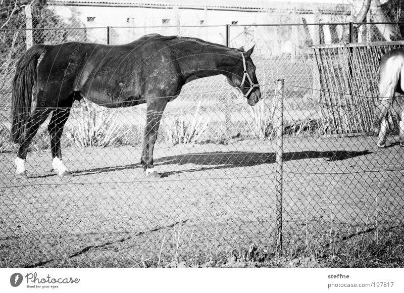 fury Animal Horse 1 Beautiful Shadow Coat color Pelt Pasture Black & white photo Exterior shot Day Light Contrast Animal portrait