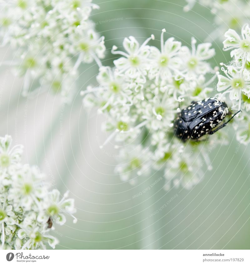 delicate hiding place Environment Nature Landscape Plant Animal Spring Summer Flower Blossom Wild plant Umbellifer Apiaceae Park Meadow Field Wild animal Beetle