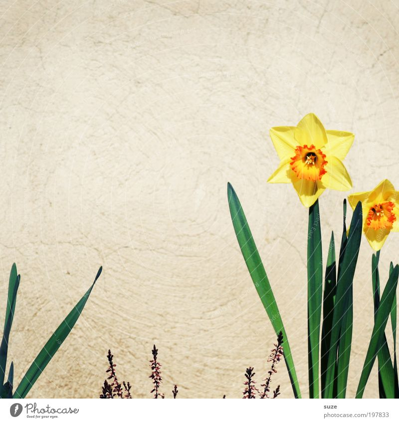 Nature Plant Flower Joy Yellow Wall (building) Happy Blossom Wall (barrier) Spring Facade Individual Delicate Beautiful weather Blossoming Stalk