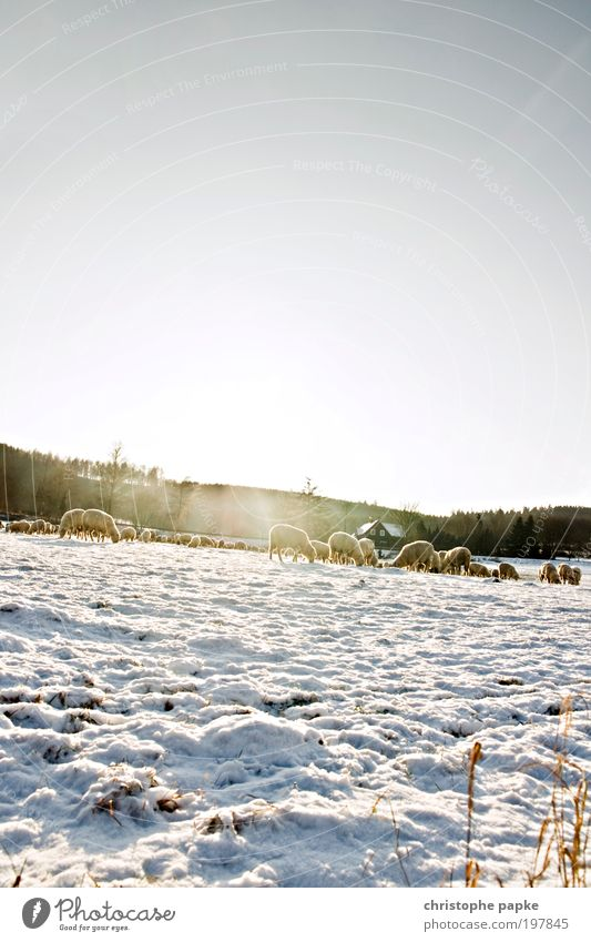 Winter Cold Snow Ice Field Frost Alps Village Freeze Pasture Sheep To feed Wool Herd Farm animal Profession