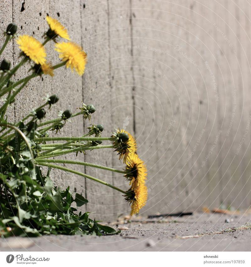 dandelion Environment Nature Plant Spring Flower Blossom Wild plant Dandelion Wall (barrier) Wall (building) Stone Concrete Green Colour photo Exterior shot