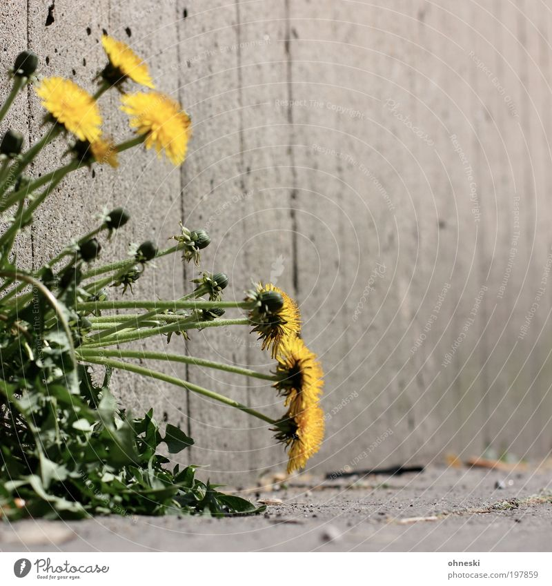 Nature Flower Green Plant Wall (building) Blossom Spring Stone Wall (barrier) Environment Concrete Dandelion Wild plant