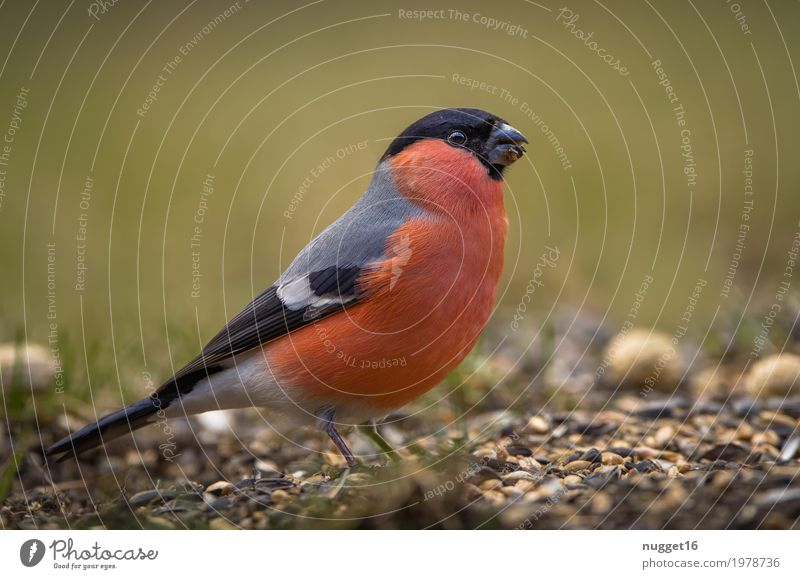 Bullfinch / bullfinch Environment Nature Animal Spring Summer Autumn Grass Garden Park Meadow Field Wild animal Bird Animal face Wing 1 Observe To feed Feeding