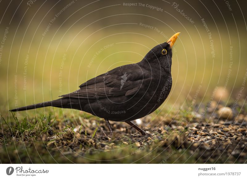 blackbird Environment Nature Animal Spring Summer Autumn Grass Garden Park Meadow Field Wild animal Bird Animal face Wing Blackbird 1 Rutting season Observe