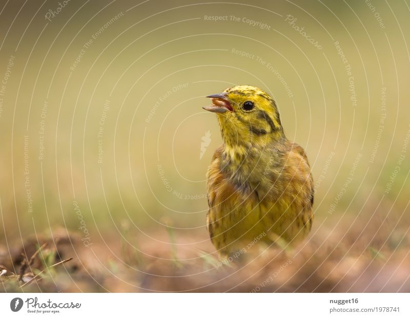 Yellowhammer Environment Nature Animal Spring Summer Autumn Grass Garden Park Meadow Field Wild animal Bird Animal face Wing 1 Observe To feed Sit Stand