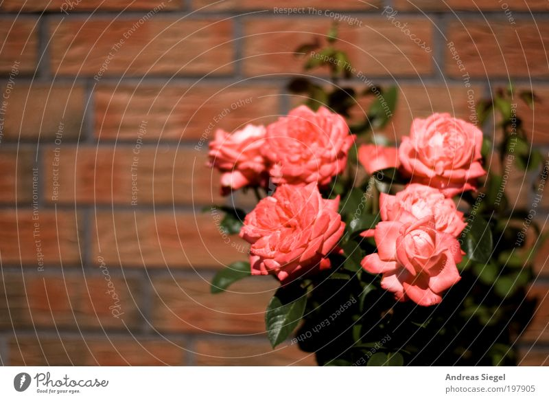 florid Environment Nature Plant Flower Rose Leaf Blossom Garden Wall (barrier) Wall (building) Stone Line Fresh Beautiful Pink Red Colour photo Exterior shot