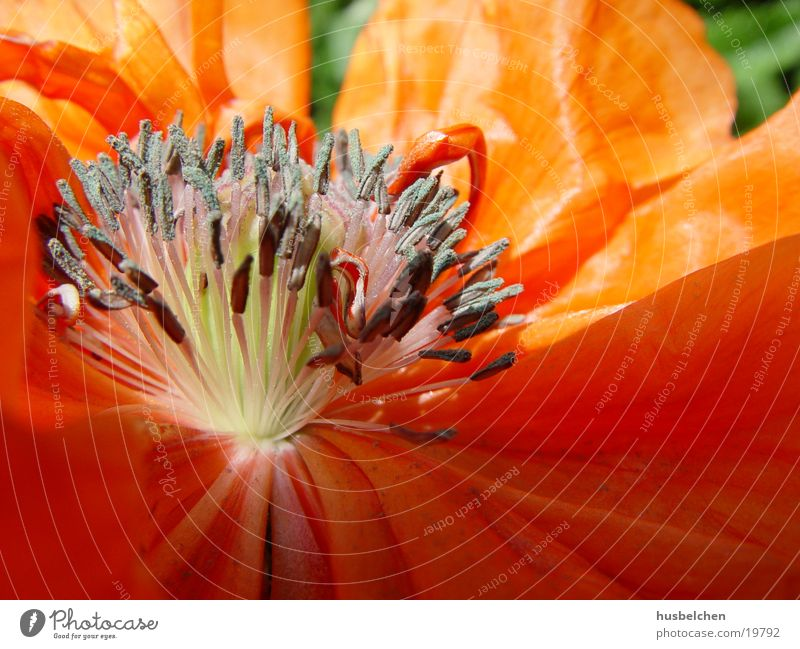 Flower Red Blossom Orange Poppy Pistil Blossom leave