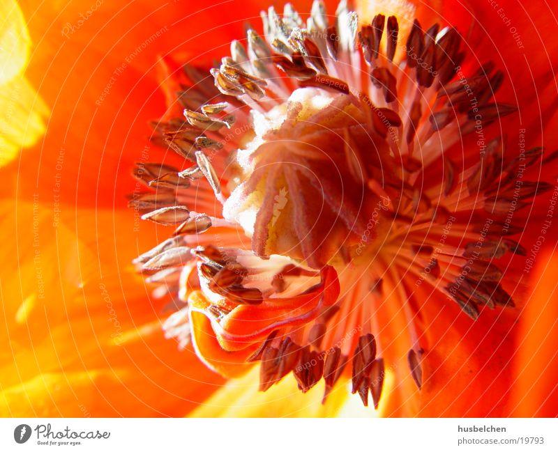 Flower Red Yellow Blossom Orange Poppy Pistil Blossom leave
