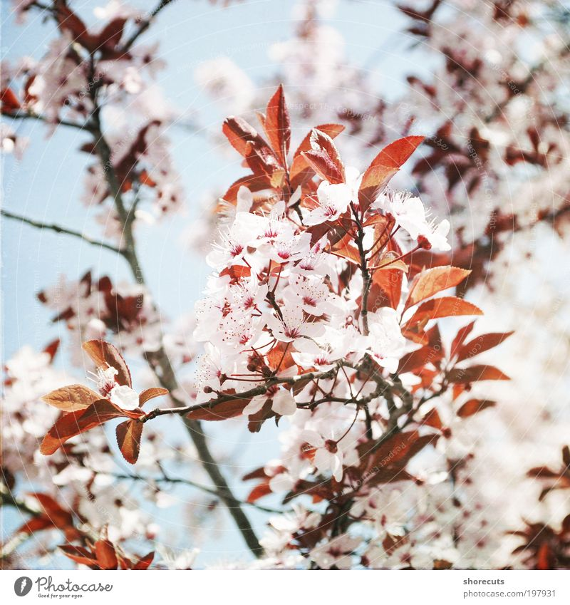 Beautiful Tree Sun Plant Calm Emotions Spring Happy Moody Fresh Esthetic Romance Climate Fragrance Cherry blossom Spring fever