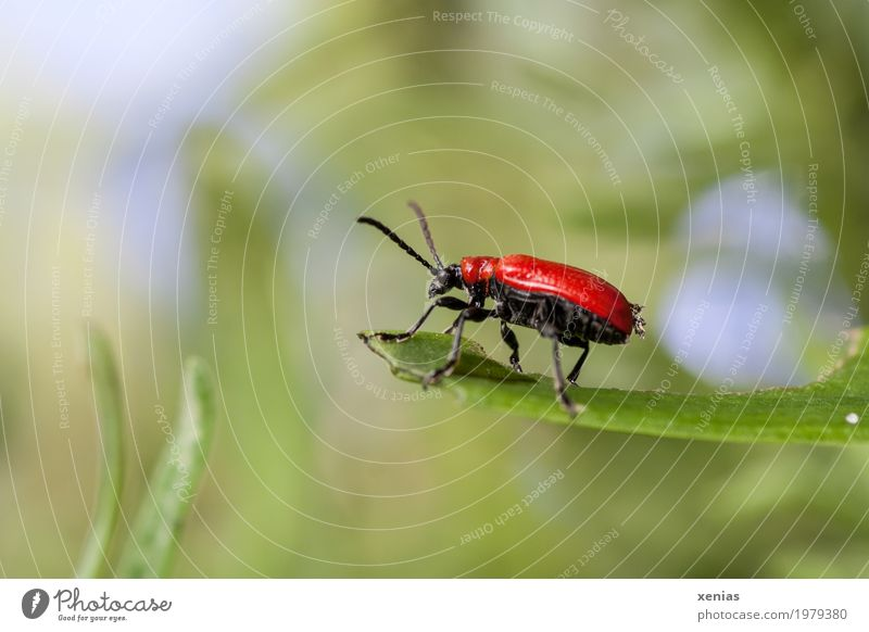 At the vantage point Summer Leaf Garden Park Meadow Beetle Insect Lily beetle 1 Animal Above Blue Green Red Black antennas Colour photo Exterior shot Close-up