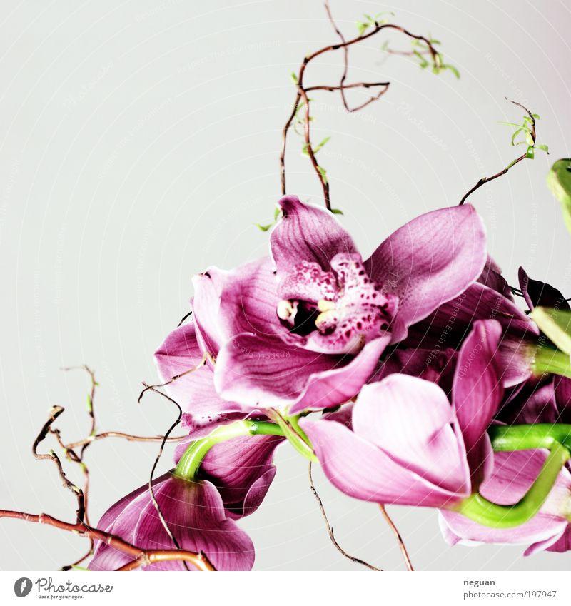 spring Elegant Happy Decoration Plant Flower Orchid Blossom Exotic Fresh Beautiful Positive Soft Pink Red Spring fever Colour photo Interior shot Studio shot