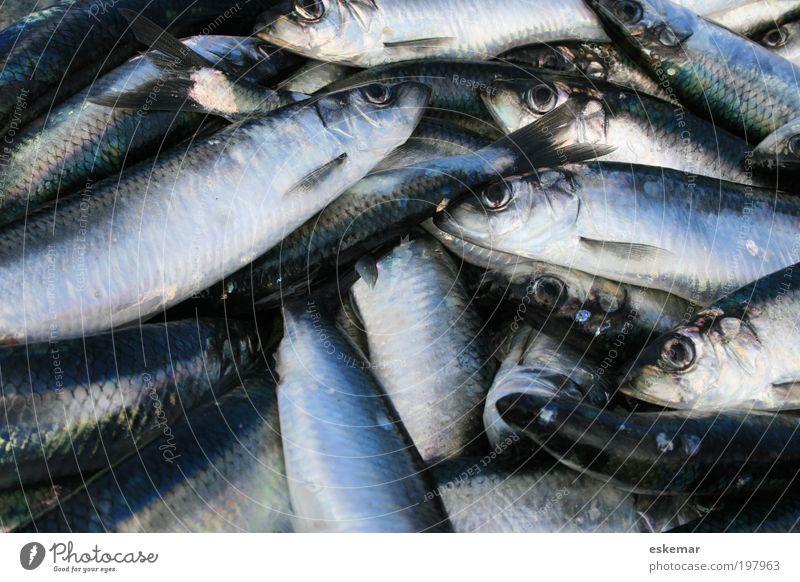 Blue Nutrition Gray Fish Multiple Authentic Many Captured Ocean Heap Atlantic Ocean Flock Gill Herring