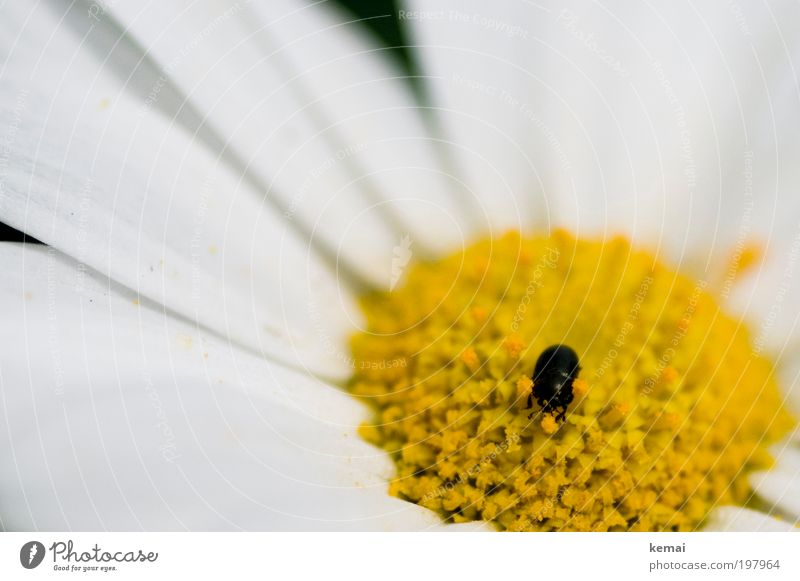 Little Pollen Collector Environment Nature Plant Animal Spring Summer Beautiful weather Warmth Flower Blossom Pot plant Marguerite Farm animal Wild animal