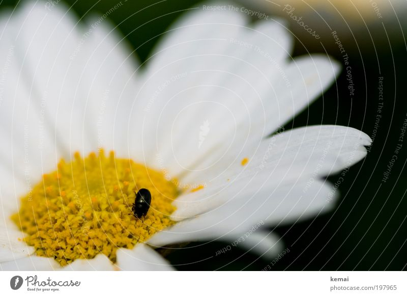 A good bug, even if not dead Environment Nature Plant Animal Spring Summer Beautiful weather Warmth Flower Blossom Pot plant Marguerite Blossom leave