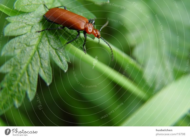 Green Red Leaf Field Insect Beetle Wayside