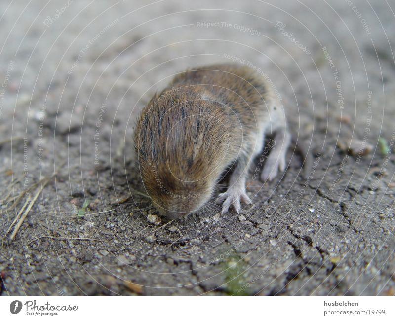 Pelt Footpath Paw Rat