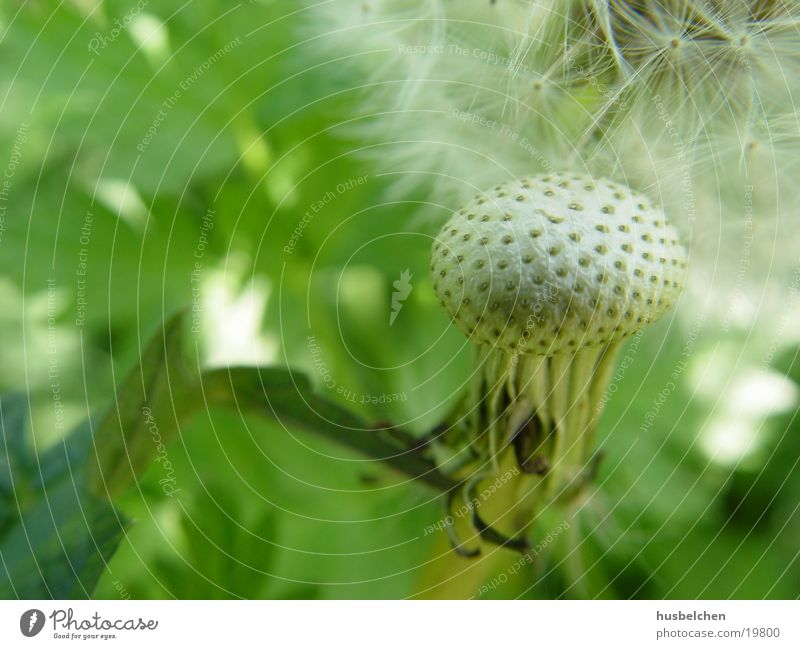 Meadow Spring Dandelion