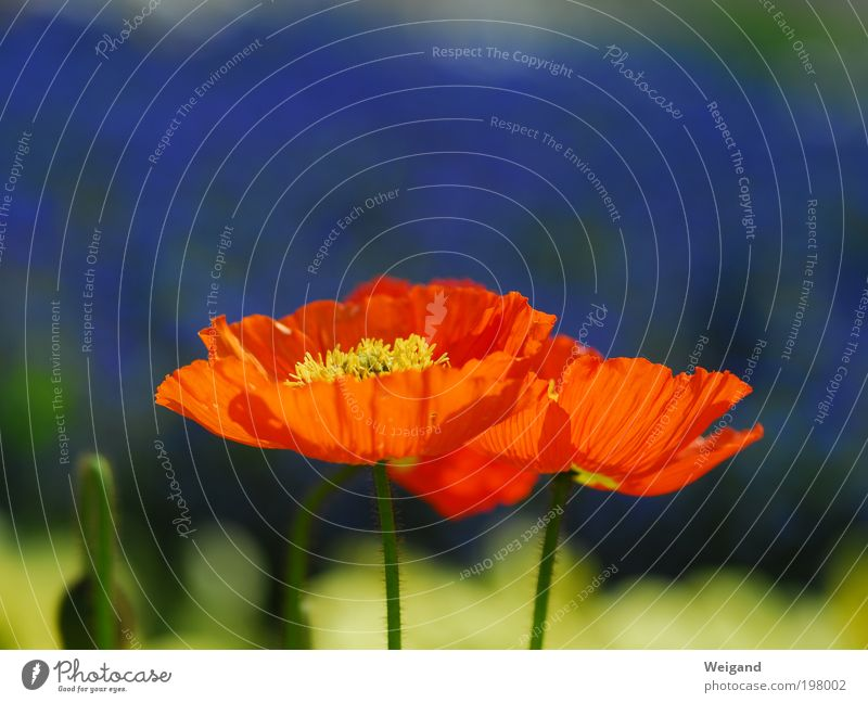 Green Summer Sun Flower Red Blossom Spring Lighting Garden Violet Poppy Horticulture Splendid Poppy blossom Environment