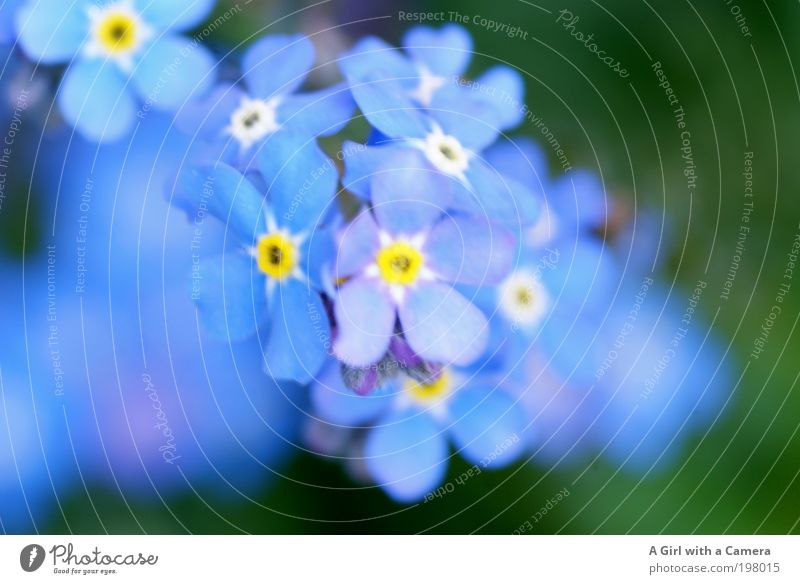........... never forget Nature Plant Spring Flower Blossom Wild plant Forget-me-not Garden Park Meadow Authentic Simple Friendliness Happiness Fresh Beautiful