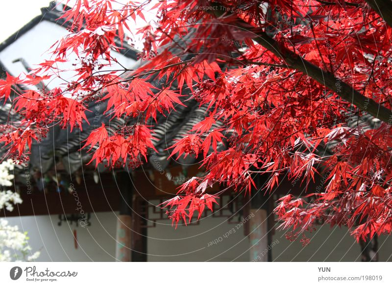 Nature White Tree Plant Red Leaf Black Far-off places Colour Autumn Garden Bright Roof Branch China Red maple