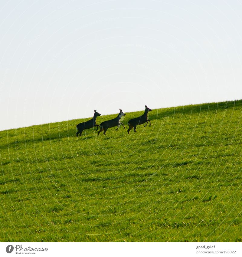 Three racks Environment Landscape Sky Summer Garden Meadow Animal Wild animal 3 Animal family Blue Green Emotions Roe deer Fawn Vension Red deer Deer
