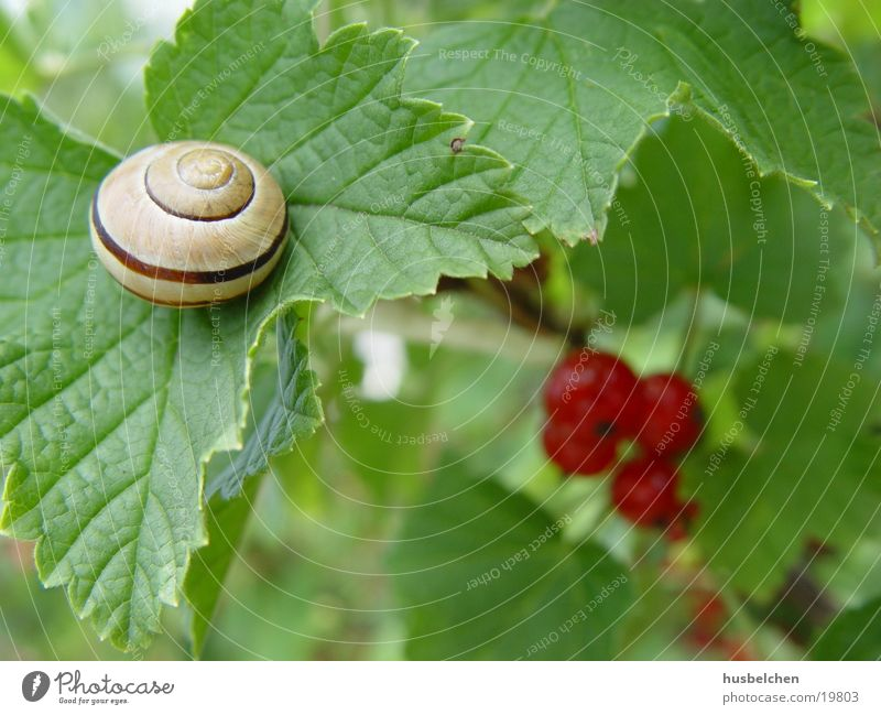 Leaf Garden Fruit Snail Redcurrant