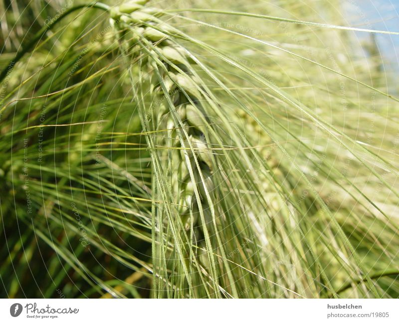 inclined barley Barley Agriculture Field Beer Grain
