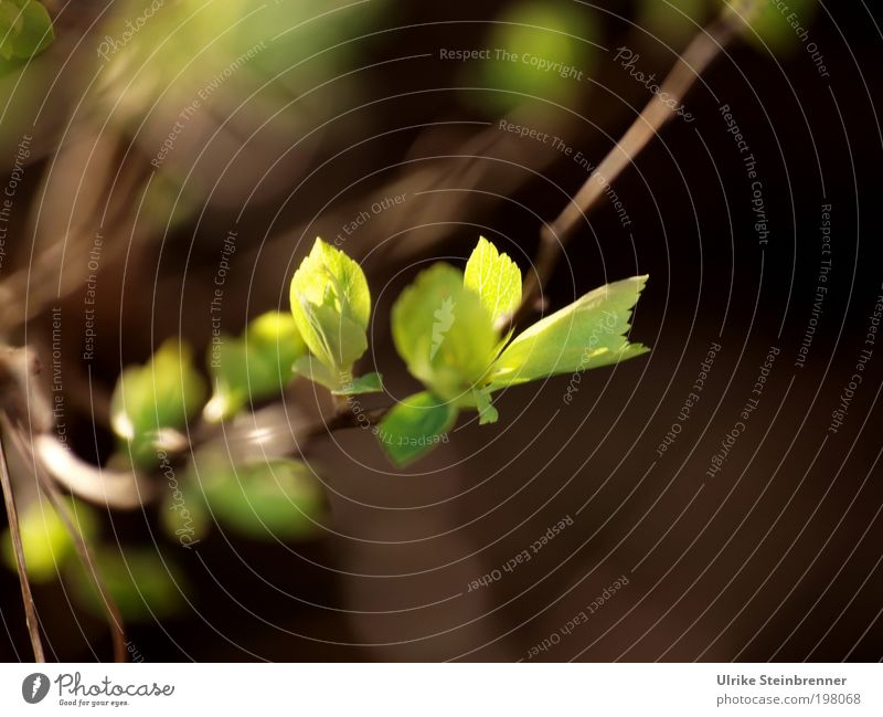 Nature Sun Green Plant Leaf Spring Lighting Growth Bushes Branch Point Delicate Mysterious Illuminate Twig Fine