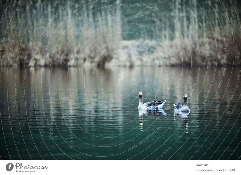 wild geese Food Nutrition Organic produce Leisure and hobbies Hunting Hunter Environment Nature Water Spring Autumn Lakeside Wild animal Bird Goose Wild goose 2