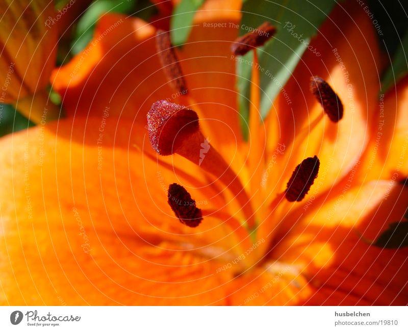 Flower Blossom Orange Lily