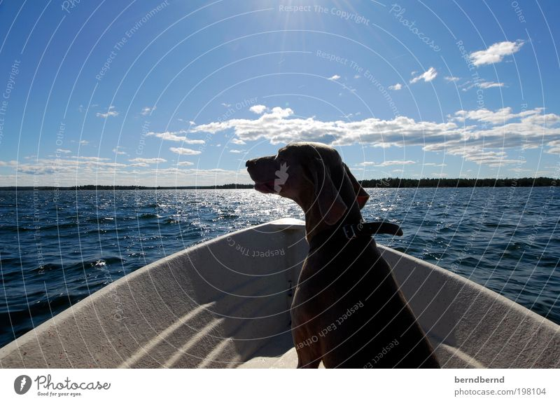 Sweden Summer Sun Ocean Nature Landscape Water Clouds Watercraft Animal Pet Dog Weimaraner 1 Boating trip Wood Discover Relaxation Contentment