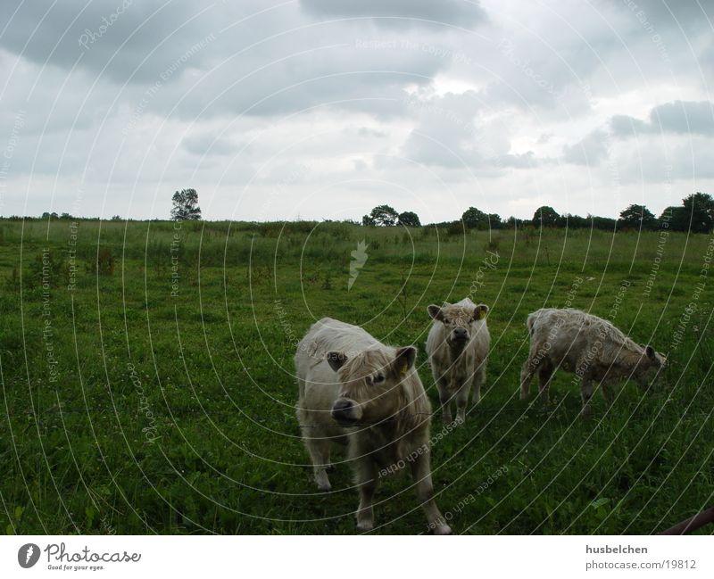 galloways Cow Galloways Meadow