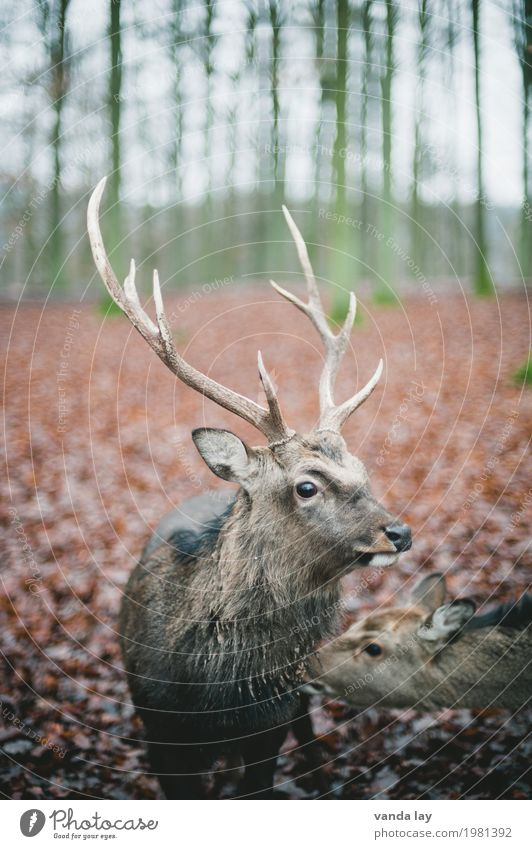 stag Leisure and hobbies Hunting Forest Animal Wild animal Zoo Deer Fallow deer Antlers 1 Nature Colour photo Exterior shot Deserted Copy Space left