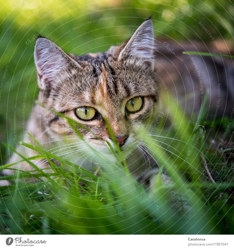 On the lookout Hunting Nature Plant Animal Summer Beautiful weather Grass Meadow Cat 1 Observe Lie Looking Brash Brown Yellow Gold Green Moody Self-confident