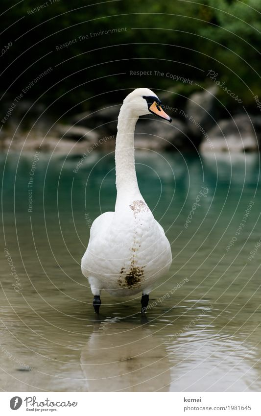 King of the river Trip Adventure Environment Nature Animal Water Lakeside River bank Brook Wild animal Swan Animal face 1 Looking Stand Authentic Dirty Large