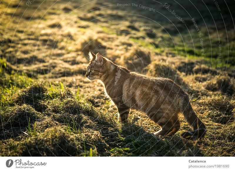 late afternoon Nature Plant Animal Sunlight Summer Beautiful weather Grass Meadow Field Cat 1 Observe Shopping Hunting Astute Brown Yellow Green Black