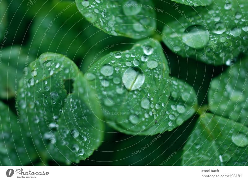 Clover Leaf / Clover Leaf Nature Plant Earth Water Drops of water Rain Foliage plant Meadow Field Hill Beautiful Cold Green Happy Contentment Colour photo