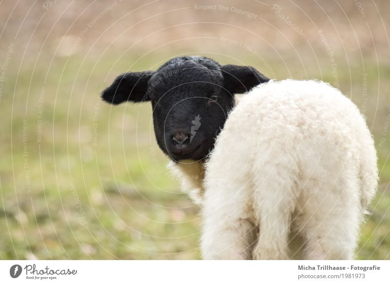 Small Lamb Easter Nature Animal Sun Sunlight Beautiful weather Meadow Pet Farm animal Animal face Pelt Sheep 1 Baby animal Observe Looking Stand Natural