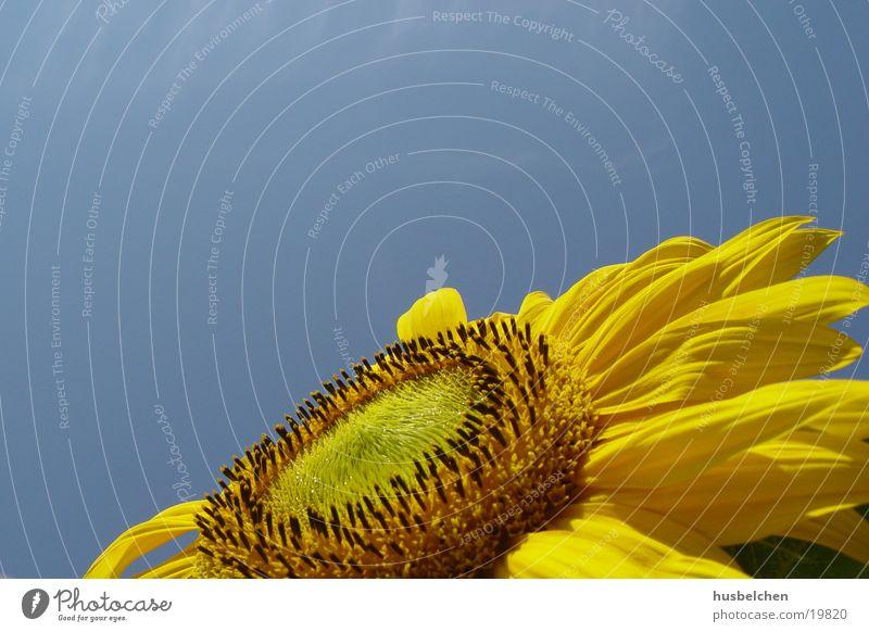 finally some sun Sunflower Blossom Blossom leave Yellow Sky Blue