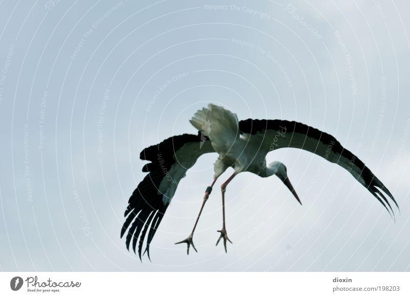 Landing approach [LUsertreffen 04|10] Sky Clouds Beautiful weather Animal Wild animal Wing Stork White Stork Legs Feather Beak Claw Bird Stride bird Flying