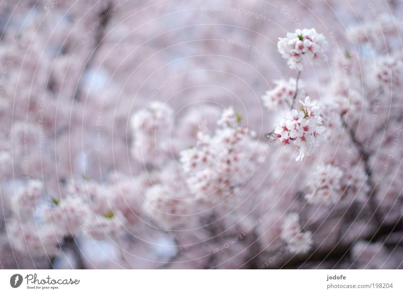in full bloom Tree Blossom Agricultural crop Wild plant Beautiful Pink White Apple blossom Cherry blossom Blossoming Spring Treetop Branchage Nature Plant