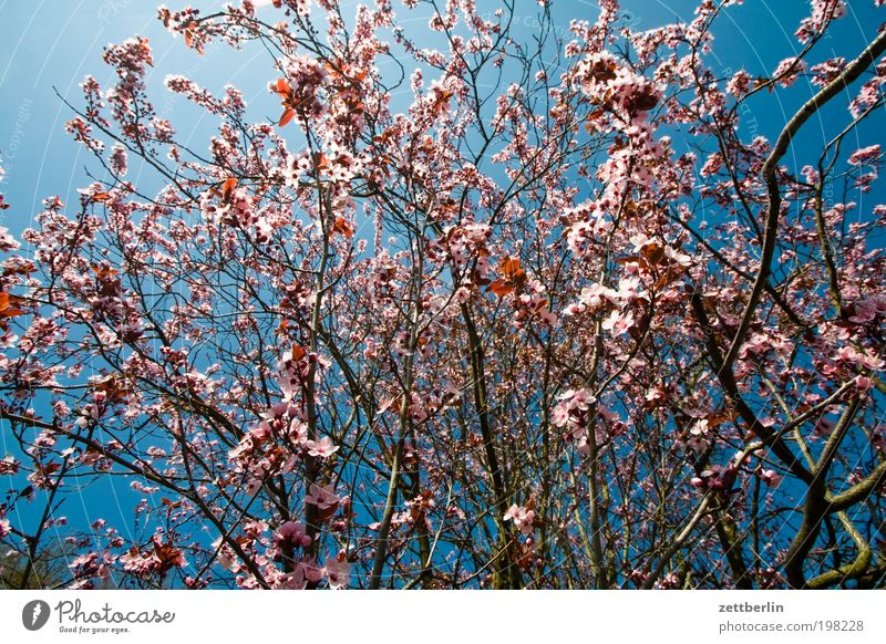 Sky Nature Plant Summer Blossom Spring Growth Bushes Blossoming Seasons Twig Blue sky Sky blue April