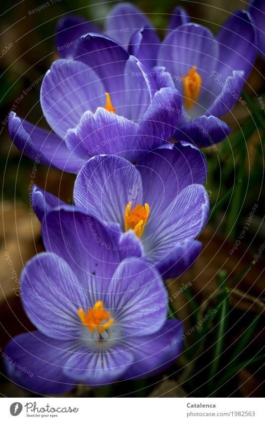 readily Nature Plant Spring Blossom Crocus Garden Park Blossoming Fragrance Growth Esthetic Green Violet Orange Moody Happiness Spring fever Attentive Beginning
